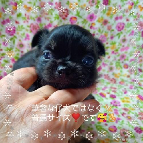 チワワ(ロング)の子犬(ID:1275111011)の3枚目の写真/更新日:2021-06-08