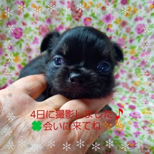 チワワ(ロング)の子犬(ID:1275111011)の4枚目の写真/更新日:2021-06-08