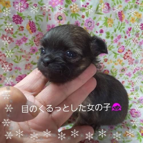 チワワ(ロング)の子犬(ID:1275111012)の1枚目の写真/更新日:2021-06-08