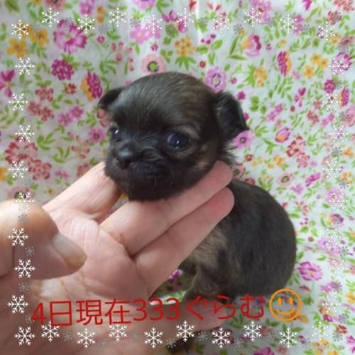 チワワ(ロング)の子犬(ID:1275111012)の2枚目の写真/更新日:2021-06-08