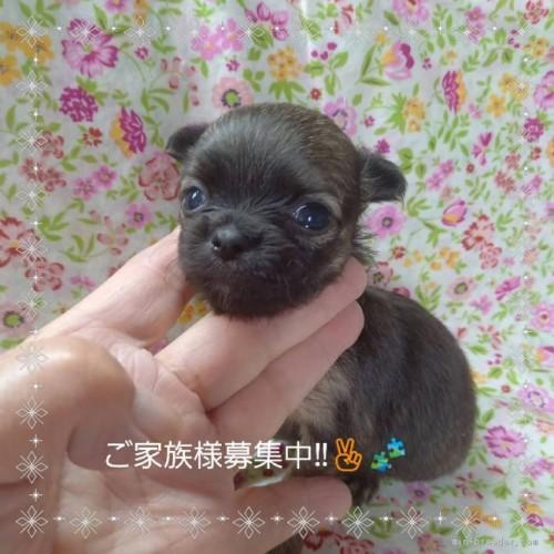 チワワ(ロング)の子犬(ID:1275111012)の3枚目の写真/更新日:2021-06-08