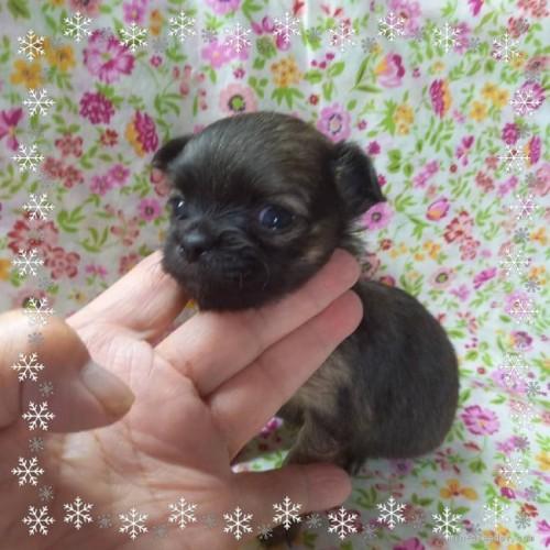 チワワ(ロング)の子犬(ID:1275111012)の4枚目の写真/更新日:2021-06-08