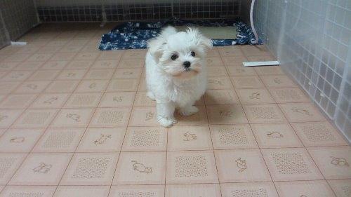 マルチーズの子犬(ID:1275211008)の1枚目の写真/更新日:2019-10-02