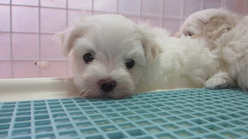 マルチーズの子犬(ID:1275211008)の7枚目の写真/更新日:2019-10-07