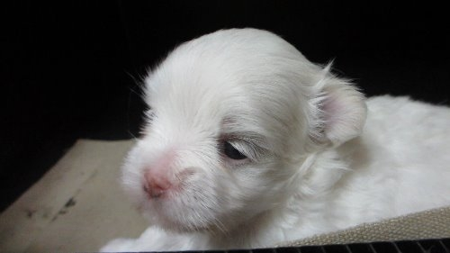 マルチーズの子犬(ID:1275211009)の2枚目の写真/更新日:2019-09-21
