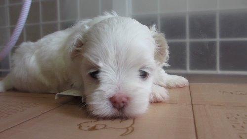 マルチーズの子犬(ID:1275211009)の3枚目の写真/更新日:2019-09-22
