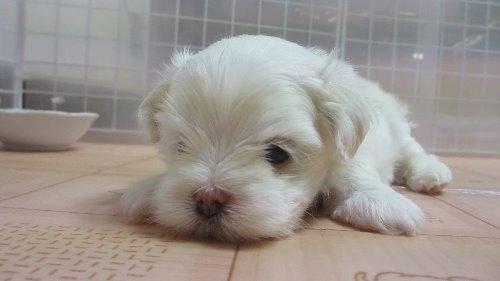 マルチーズの子犬(ID:1275211009)の5枚目の写真/更新日:2019-09-30