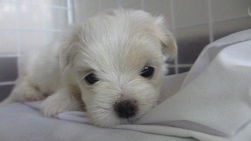 マルチーズの子犬(ID:1275211011)の1枚目の写真/更新日:2019-12-08