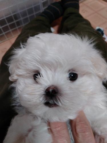 マルチーズの子犬(ID:1275211020)の1枚目の写真/更新日:2021-01-04