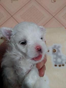 マルチーズの子犬(ID:1275211020)の2枚目の写真/更新日:2021-01-12
