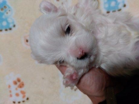 マルチーズの子犬(ID:1275211021)の2枚目の写真/更新日:2021-01-06