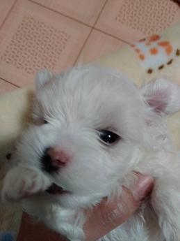 マルチーズの子犬(ID:1275211021)の3枚目の写真/更新日:2021-01-12