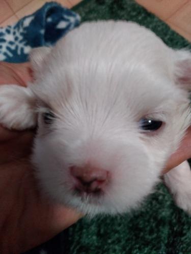マルチーズの子犬(ID:1275211024)の1枚目の写真/更新日:2021-05-11