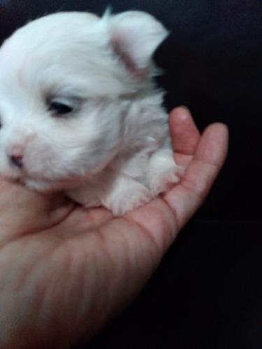 マルチーズの子犬(ID:1275211026)の2枚目の写真/更新日:2021-07-06