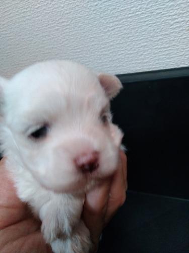 マルチーズの子犬(ID:1275211027)の1枚目の写真/更新日:2021-07-06