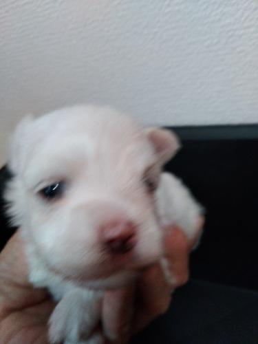 マルチーズの子犬(ID:1275211027)の3枚目の写真/更新日:2021-07-06