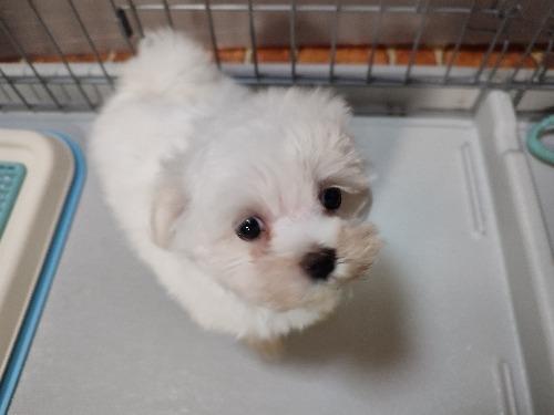 マルチーズの子犬(ID:1275211028)の1枚目の写真/更新日:2021-07-24