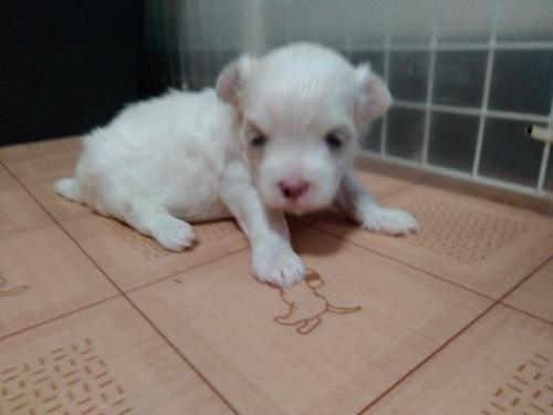 マルチーズの子犬(ID:1275211028)の2枚目の写真/更新日:2021-07-24