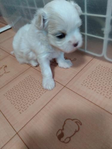 マルチーズの子犬(ID:1275211029)の1枚目の写真/更新日:2021-07-24