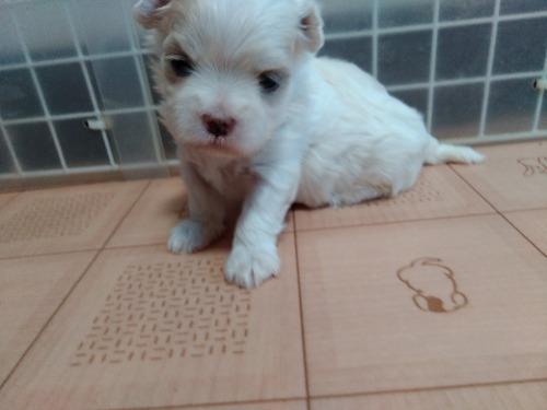 マルチーズの子犬(ID:1275211029)の3枚目の写真/更新日:2021-07-24