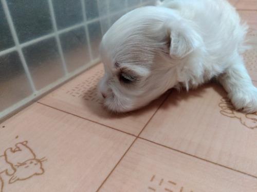 マルチーズの子犬(ID:1275211030)の3枚目の写真/更新日:2021-07-24