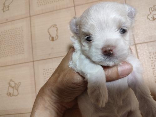 マルチーズの子犬(ID:1275211031)の1枚目の写真/更新日:2021-09-03