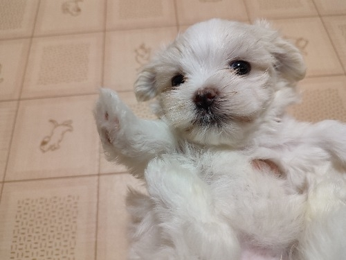 マルチーズの子犬(ID:1275211032)の2枚目の写真/更新日:2021-09-19