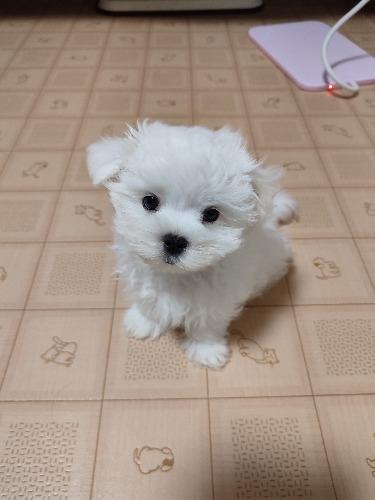 マルチーズの子犬(ID:1275211033)の2枚目の写真/更新日:2021-09-27