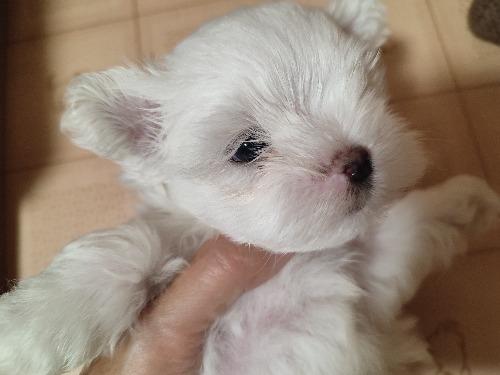 マルチーズの子犬(ID:1275211034)の1枚目の写真/更新日:2021-10-05