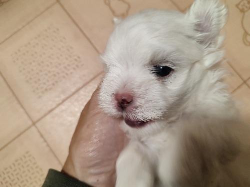 マルチーズの子犬(ID:1275211034)の2枚目の写真/更新日:2021-09-27