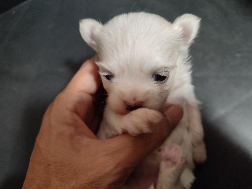 マルチーズの子犬(ID:1275211038)の2枚目の写真/更新日:2021-10-24