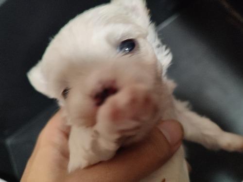 マルチーズの子犬(ID:1275211038)の4枚目の写真/更新日:2021-10-24