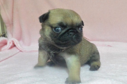パグの子犬(ID:1275711001)の2枚目の写真/更新日:2020-09-07