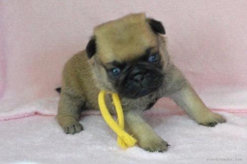 パグの子犬(ID:1275711002)の2枚目の写真/更新日:2020-09-07