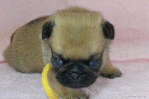 パグの子犬(ID:1275711002)の3枚目の写真/更新日:2020-12-23