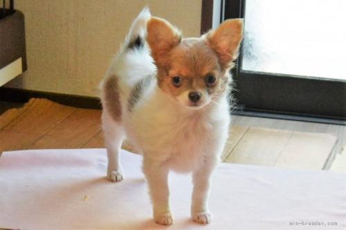 チワワ(ロング)の子犬(ID:1275711004)の1枚目の写真/更新日:2020-04-04
