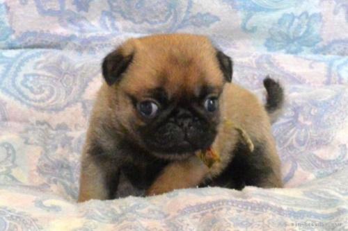パグの子犬(ID:1275711017)の3枚目の写真/更新日:2020-05-21