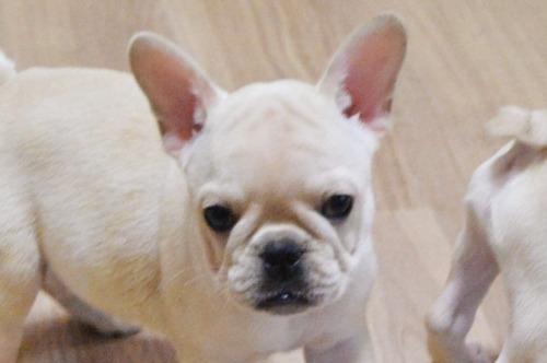 フレンチブルドッグの子犬(ID:1275711018)の1枚目の写真/更新日:2019-11-18