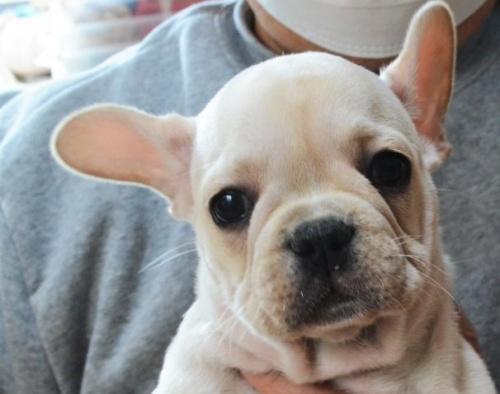 フレンチブルドッグの子犬(ID:1275711019)の1枚目の写真/更新日:2019-11-18