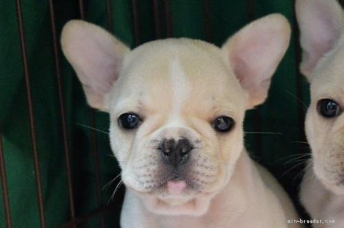 フレンチブルドッグの子犬(ID:1275711020)の1枚目の写真/更新日:2019-11-18