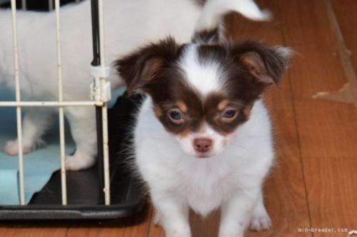 チワワ(ロング)の子犬(ID:1275711023)の2枚目の写真/更新日:2020-04-04