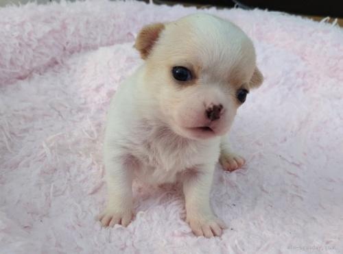 チワワ(ロング)の子犬(ID:1275711024)の2枚目の写真/更新日:2020-04-12