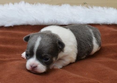 チワワ(スムース)の子犬(ID:1275711025)の2枚目の写真/更新日:2020-05-10