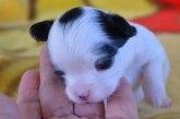チワワ(ロング)の子犬(ID:1275711027)の2枚目の写真/更新日:2020-12-11
