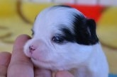 チワワ(ロング)の子犬(ID:1275711027)の3枚目の写真/更新日:2020-12-11