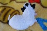 チワワ(ロング)の子犬(ID:1275711027)の4枚目の写真/更新日:2020-12-11