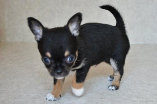 チワワ(スムース)の子犬(ID:1275711030)の1枚目の写真/更新日:2020-10-28