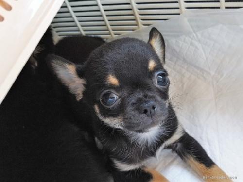 チワワ(スムース)の子犬(ID:1275711030)の2枚目の写真/更新日:2020-10-28