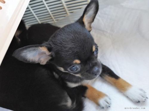 チワワ(スムース)の子犬(ID:1275711030)の3枚目の写真/更新日:2020-10-28