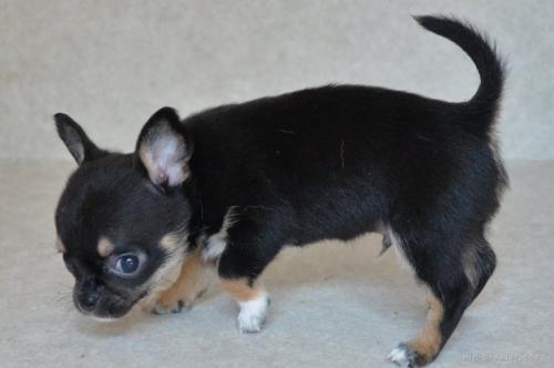 チワワ(スムース)の子犬(ID:1275711030)の4枚目の写真/更新日:2021-04-30